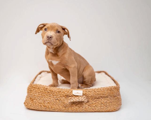 The Pitbull puppy