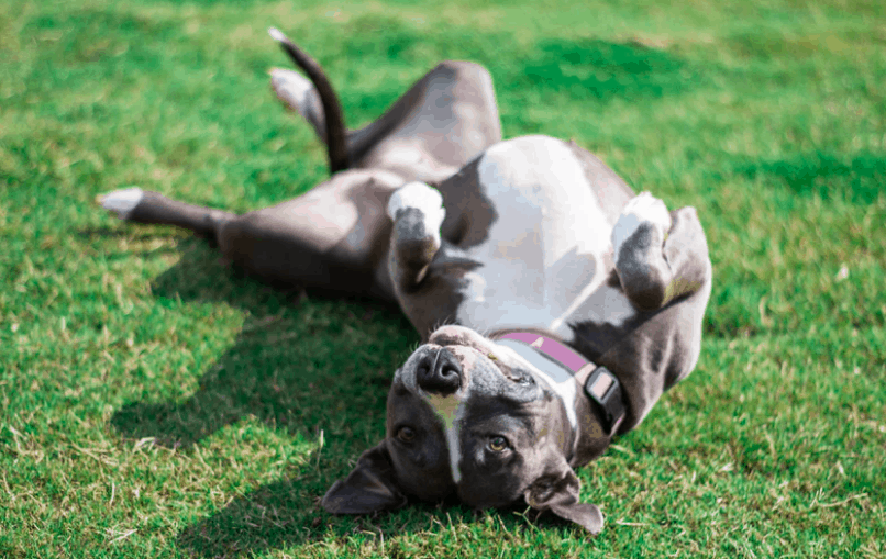 Everything You Need to Know about Pitbull puppy