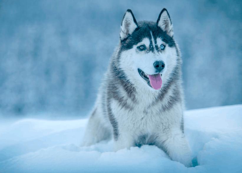 the siberian husky