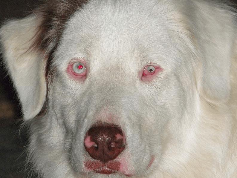 Australian Shepherd Dog, Price, Size, puppies