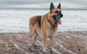 Top 100 best names for german shepherd dog in 2021 (Male + Female)