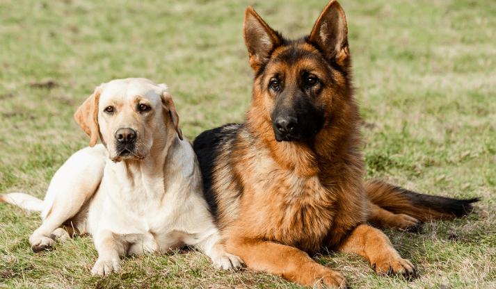 German Shepherd and a Labrador Retriever