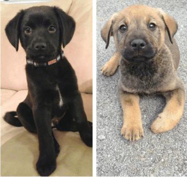 German Shepherd Lab Mix puppies