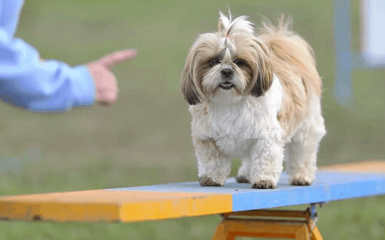 hypoallergenic small dogs - Shih Tzus