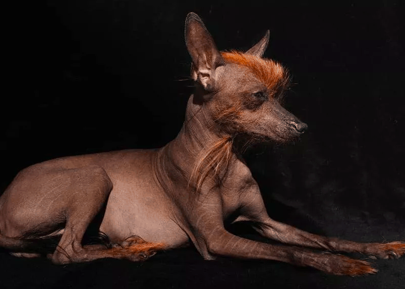 Peruvian Inca Orchid dog breed