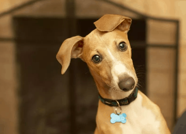 What dogs are hypoallergenic - Italian Greyhound