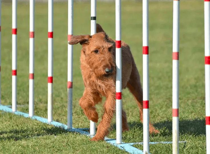 hypoallergenic dogs - Irish Terrier