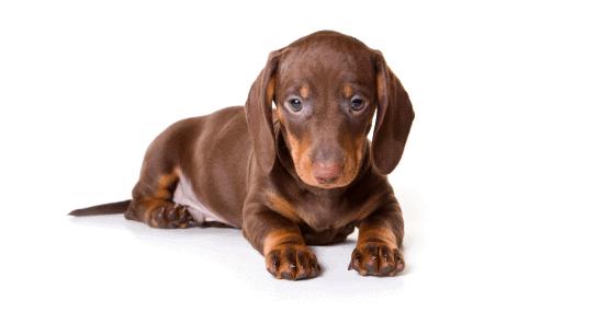 Dapple Dachshund Puppy