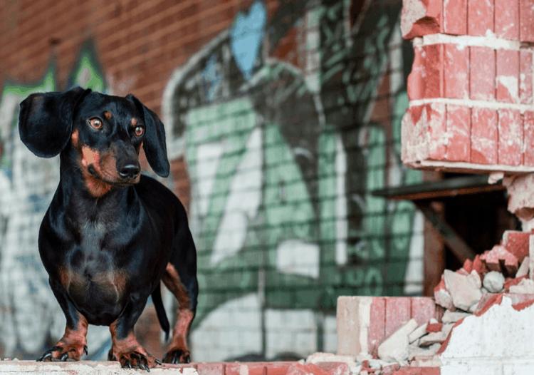 Dapple Dachshund long hair dog – 7 things you need to know