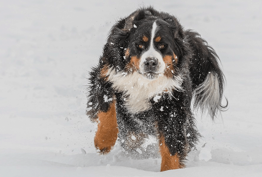 Top 7 Mountain Dog Breeds with their common Lifestyle