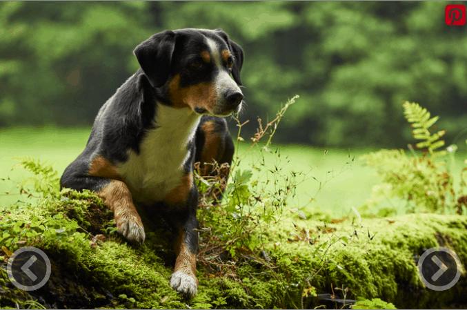 Mountain Dog Breeds - Entlebucher Mountain Dog