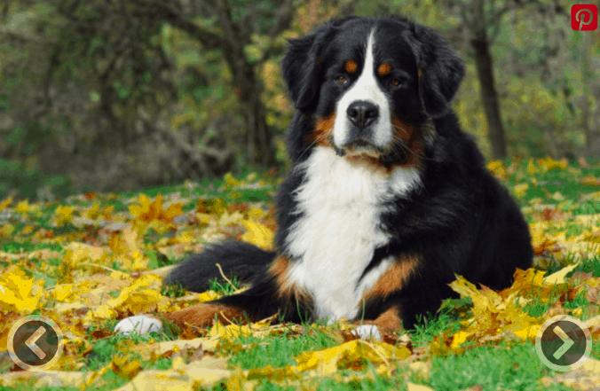 bernese mountain dog cross breeds