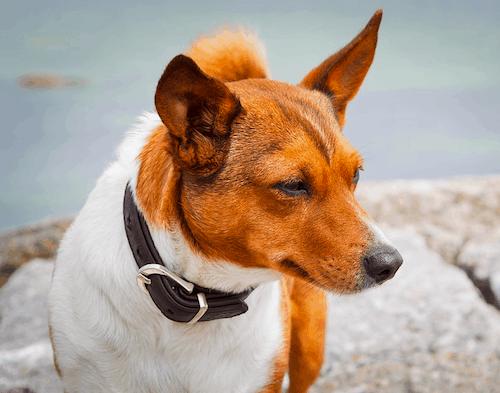 Jack Chi Dog Breed