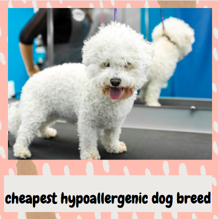 cheapest hypoallergenic dog breed