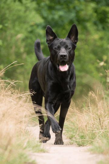 Sheprador - German Shepherd Lab Mix