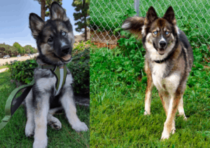 Top 10 Things You Need to Know About German Shepherd Husky Mix