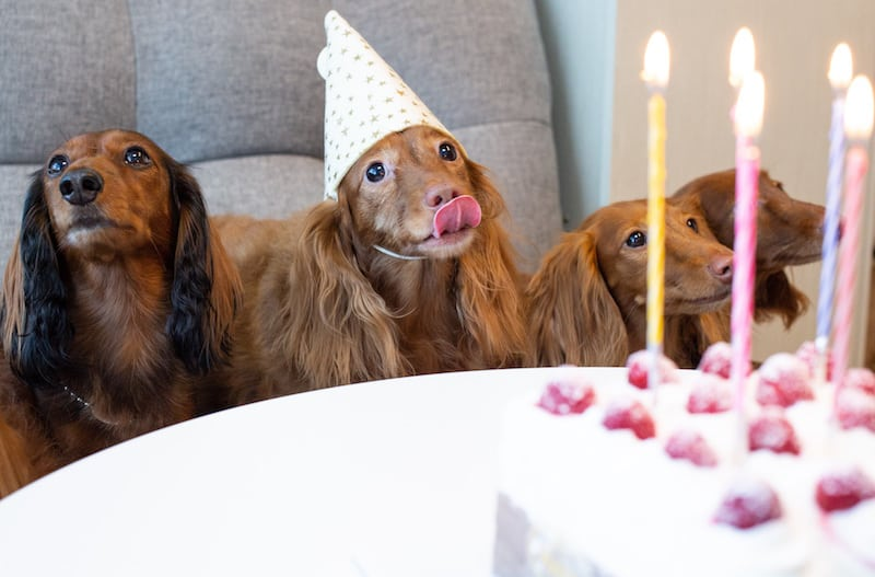 can dogs eat chocolate cake