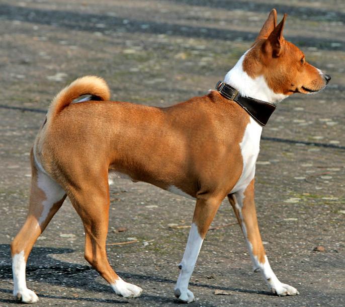 Basenji - most dangerous dogs in the world