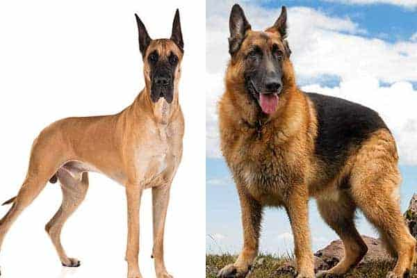 Great Dane and German Shepherd Dog