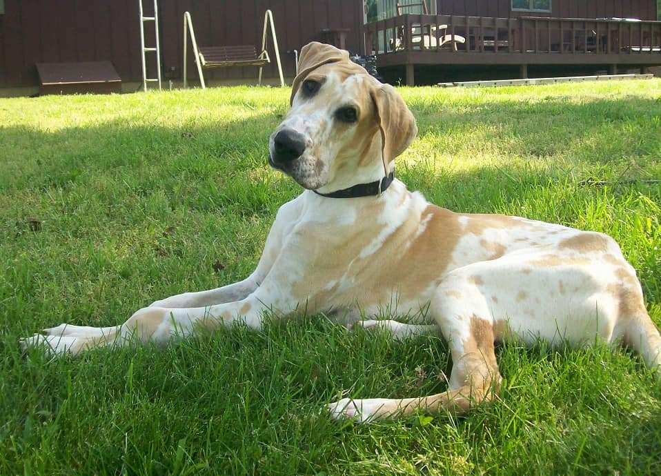 great dane pitbull mix - Great Dane and Great Pyrenees