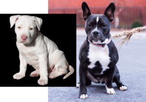 13 things you need to know about the Pitbull French Bulldog Mix