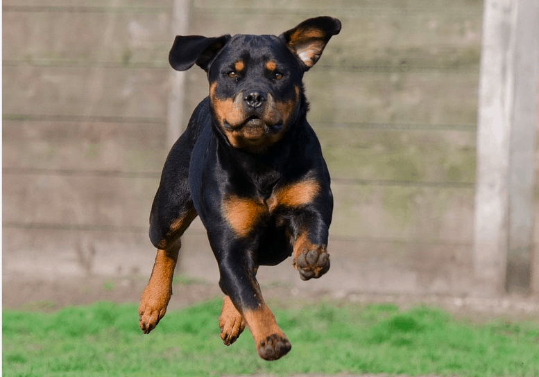 most dangerous dogs in the world - Rottweilers