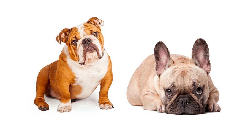 The english bulldog french bulldog mix or the freelance bulldog