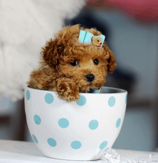 toy poodle teacup