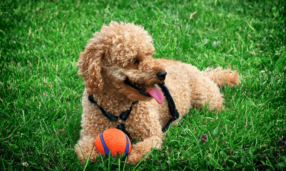 Toy Poodle full grown Dog Appearance, Height, Weight, Price and Facts