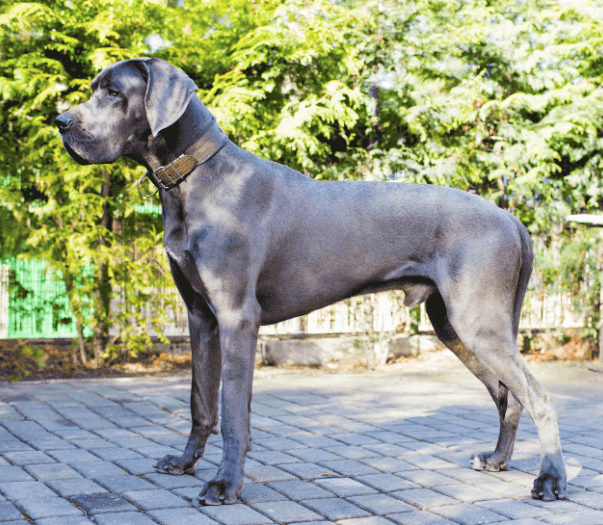 All you need to know about The Great dane bull mastiff Mix (Bull Daniffs)
