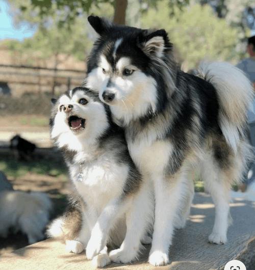 husky and pomeranian mix
