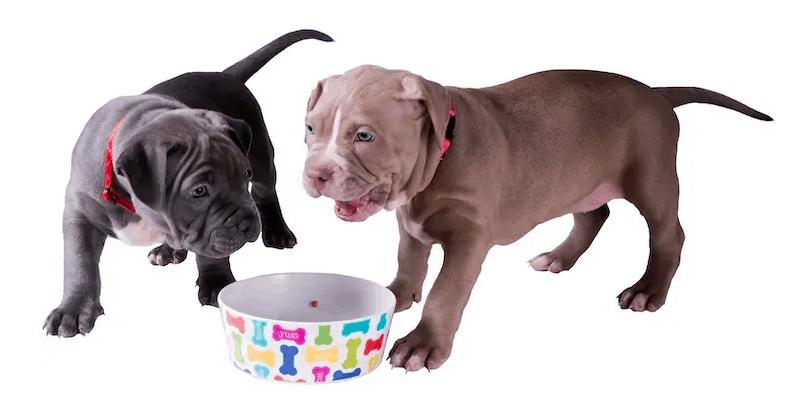 feeding a blue nose pitbull puppy