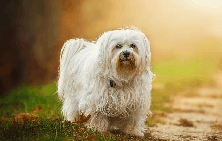 The Havanese dog breed