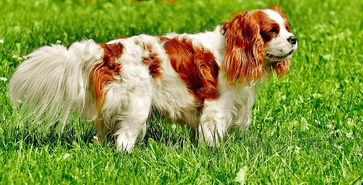 Top 10 best dog breeds for seniors in 2021 - Cavalier King Charles Spaniel