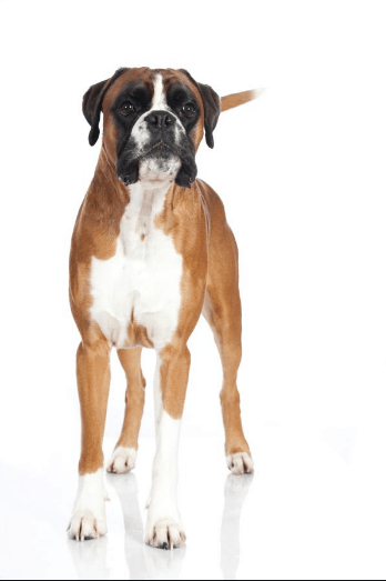 Great Dane and Boxer