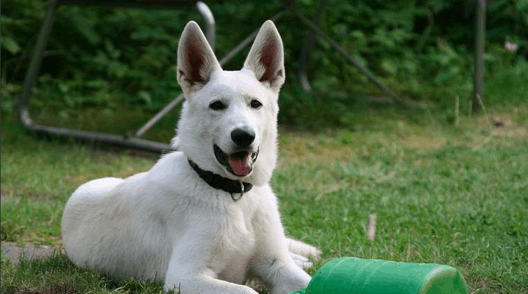 german shepherd wolf mix white