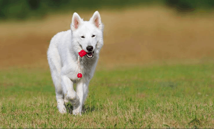 Top 10 facts aboutgerman shepherd wolf mix ( + Health Problems)