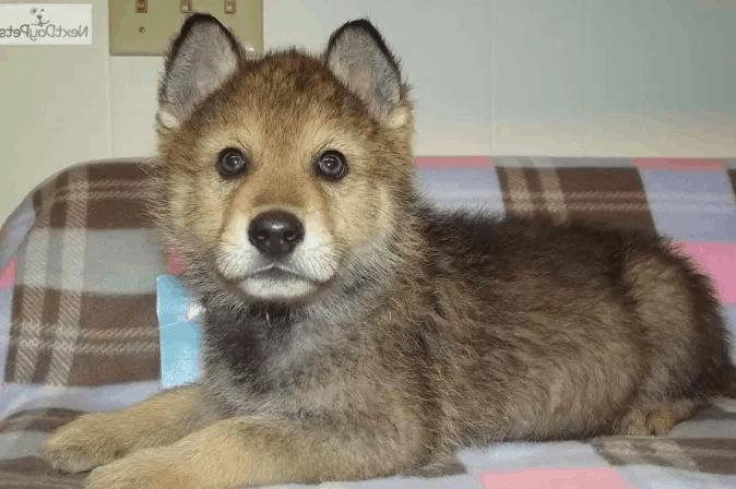 wolf mix puppy