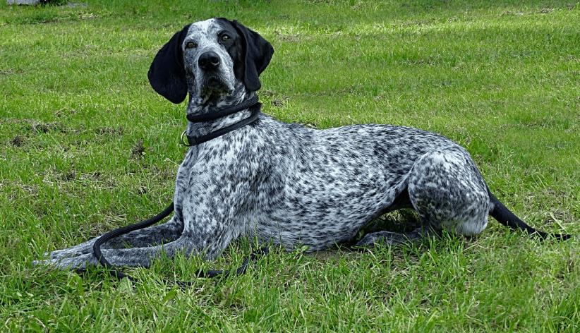 german shorthair scent hounds dog