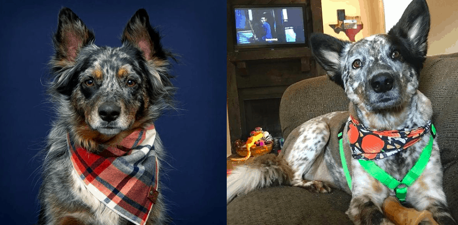 Top 10 Facts You need to Know about the Texas Heeler dog breed