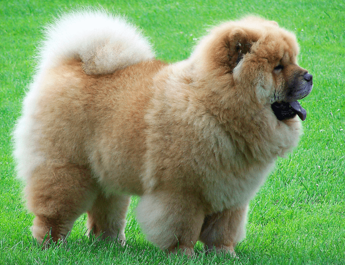 most dangerous dogs in the world - chow chow