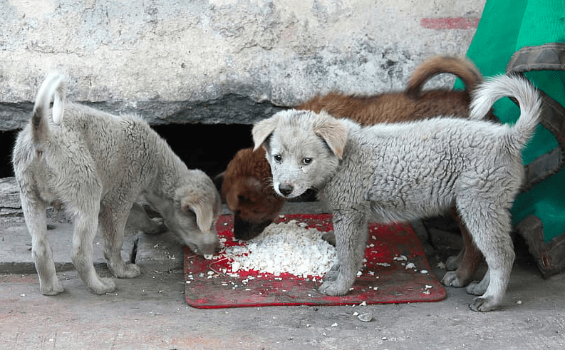 can dogs eat rice - street dogs eating rice