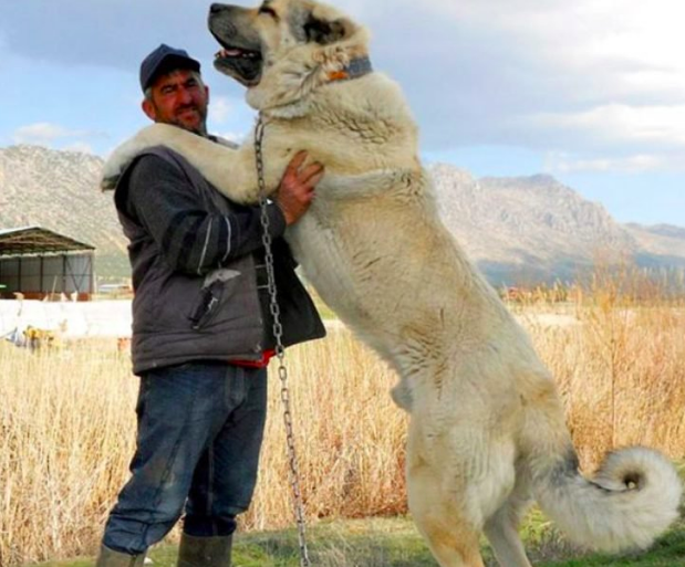 The Kangals is one of the most dangerous dogs in the world