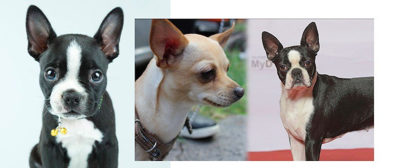 Boston Terrier Chihuahua Mix Dog Temperament, Health and cost