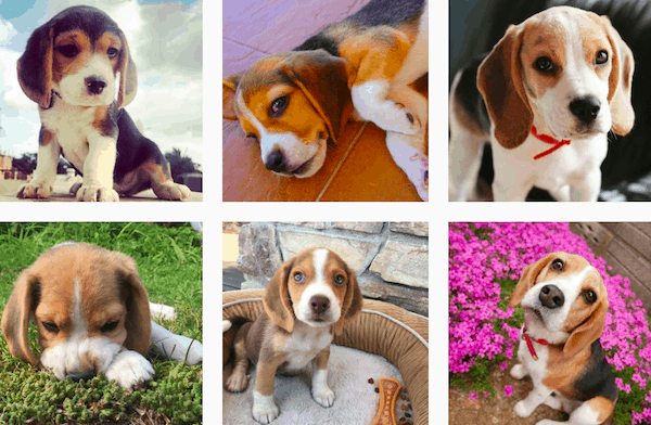 how much do beagles cost - Top 7 Facts about a Beagle dog