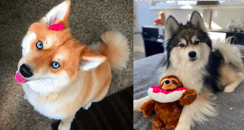 12 things about the Husky and Pomeranian mix (pomskies)