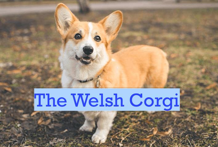 The Welsh Corgi