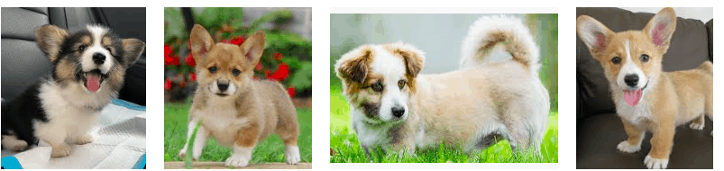 corgi mix puppies
