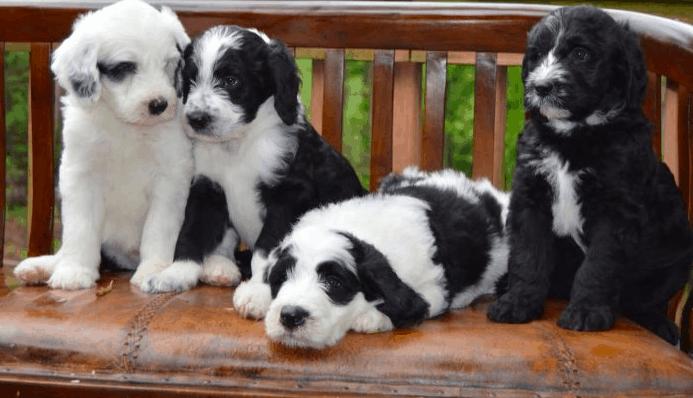 Poodle and German Shepherd mix
