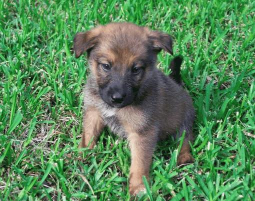 belgian malinois german shepherd mix puppy